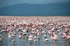 Flaming pink flamingos at Lake Nakuru