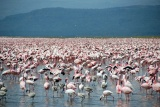 Flaming pink flamingos at Lake Nakuru