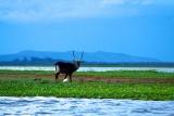 Water buck on lake naivasha, kenya