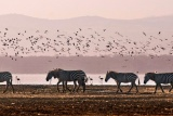 Zebras lake nakuru, kenya