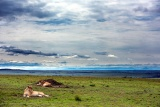 Lion's view over wide open plains, Lewa