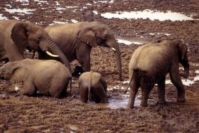 Elephants enjoying a mudbath, Aberdare