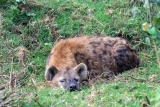 Spotted hyena in Aberdare np kenya