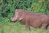 Warthog in Aberdare np kenya