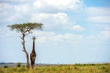 Lone giraffe, lone tree, Meru, Kenya