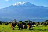 Elephants with Kili as backdrop