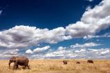 Elephants on patrol at Amboseli
