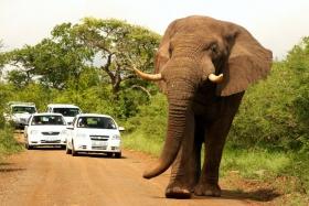 Car stopper, a big tusker at Hluhluwe-iMfolozi Park