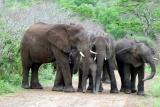 Elephants hluhluwe imfolosi park