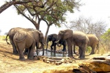 Elephants drinking at water hole