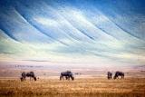 Wildebeest grazing on ngorongoro crater floor
