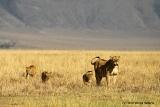 Ngorongoro lions