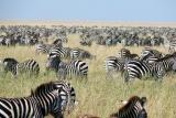 Sea of zebra