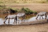 Zebra of the Serengeti