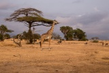 Giraffe - image by George