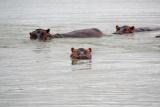 Hippos - image by Francisco Becerro