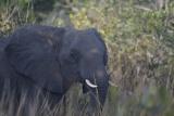 Elephant, Katavi - image by Calle v H