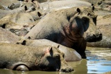 Hippo pod - image by Brian Harries
