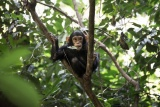 Baby chimp in the Mahale Mountains National Park