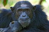 Pensive chimp, Mahale Mountains National Park