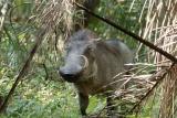 Warthog - image by Richard Toller