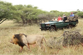 Black-maned lion seen on a game drive at malaria-free Madikwe Game Reserve