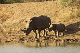 Endangered white rhino and calf at malaria-free Madikwe Game Reserve