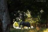 Mana-pools-shady-elephant
