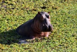 Hippo among the reeds