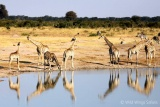 Giraffe's come down to drink at Hwange