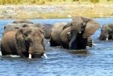 Elephants crossing the river in botswana