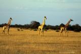 Giraffes on the plains