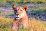 Sunlit lioness, Botswana