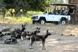 Wild dogs on game drive at Mana Pools