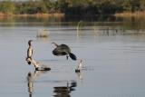 Cormorants at Lake Kariba