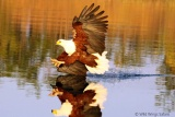 Fish eagle at Lake Kariba