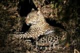 Leopard on night drive