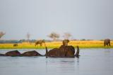 Elephants crossing lower zambezi