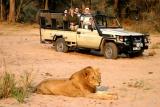 Lion on game drive lower zambezi