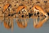 Etsoha springbok