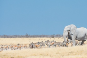 Distinctive 'white' elephant of Etosha by Wim van den Heever
