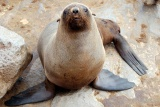 Cape fur seal, cape cross