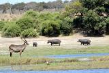 Lechwe-hippo