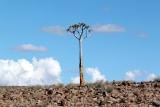 Lonely quiver tree, fish river canyon