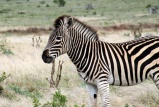 Cape mountain zebra, addo elephant park