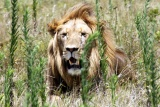 Lion at addo national park