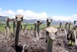 Ostriches at oudtshoorn