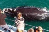 Southern right whale alongside boat