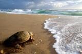 Turtles at thonga beach lodge