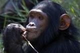 Chimpanzee sanctuary, near Laikipia
